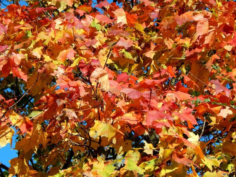 在树分支的秋叶  免版税库存图片