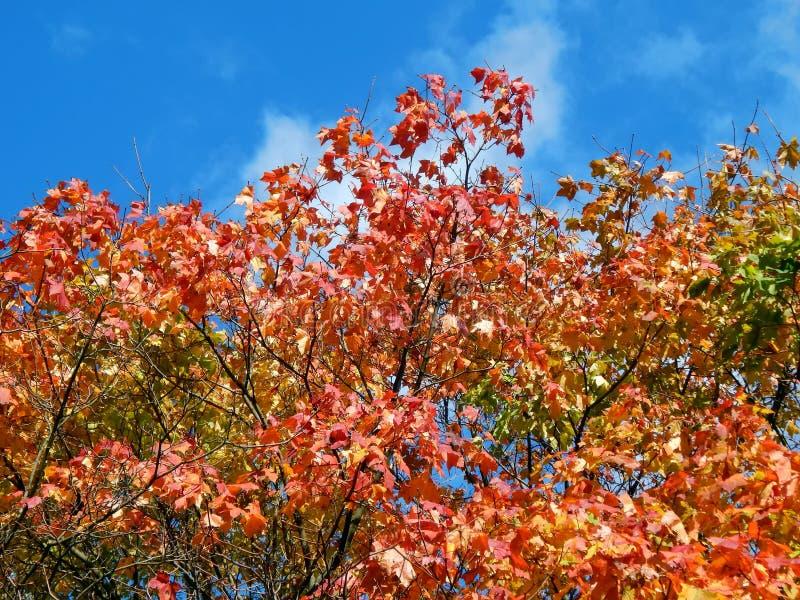 在树分支的秋叶  库存照片
