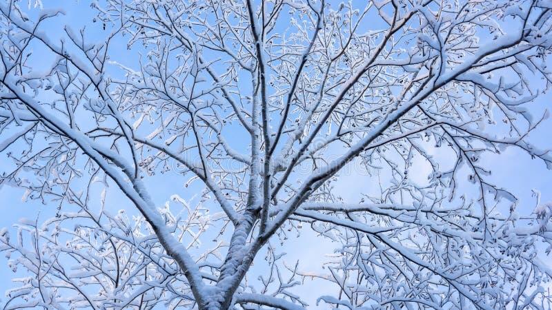 在树分支的蓬松雪  免版税库存图片