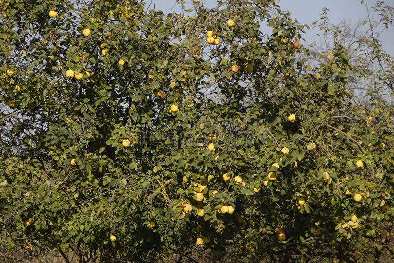 在树分支,晚秋天的柑橘果子在庭院里,晚柑橘果子 免版税库存图片