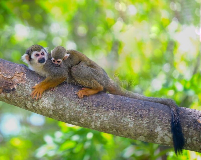 在树动物分支的松鼠猴子  免版税库存照片