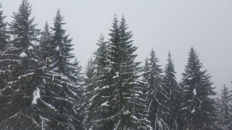 在树奥地利的雪 免版税库存图片