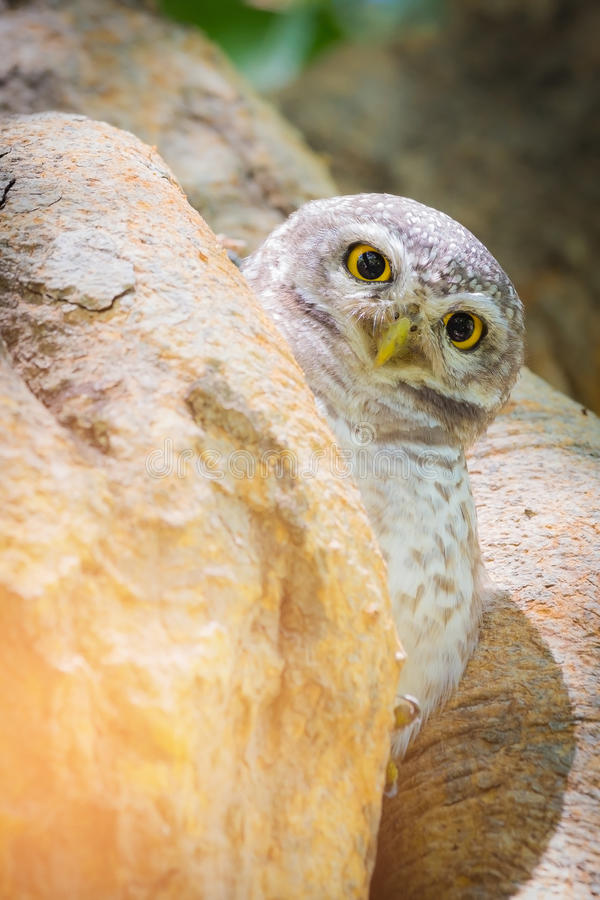 在树孔的猫头鹰 免版税库存图片