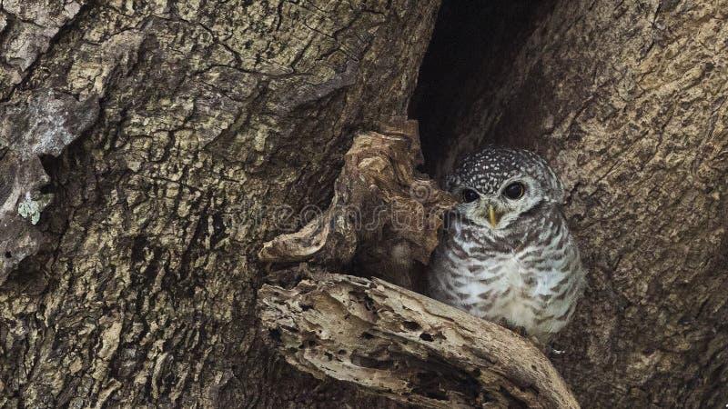 在树孔的被察觉的猫头鹰之子 库存照片