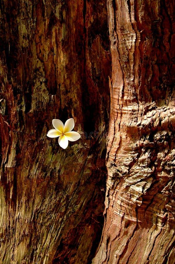 在树干捉住的白花 免版税图库摄影