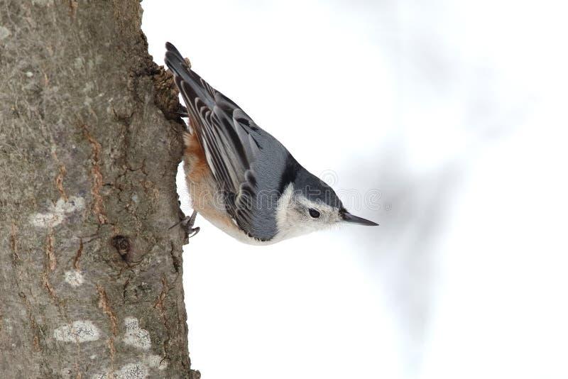 在树干栖息的白的breasted五子雀 库存图片