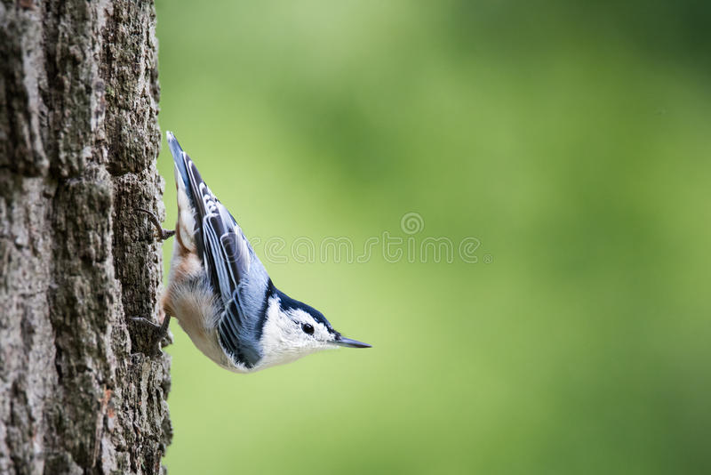 在树干栖息的白的breasted五子雀 图库摄影