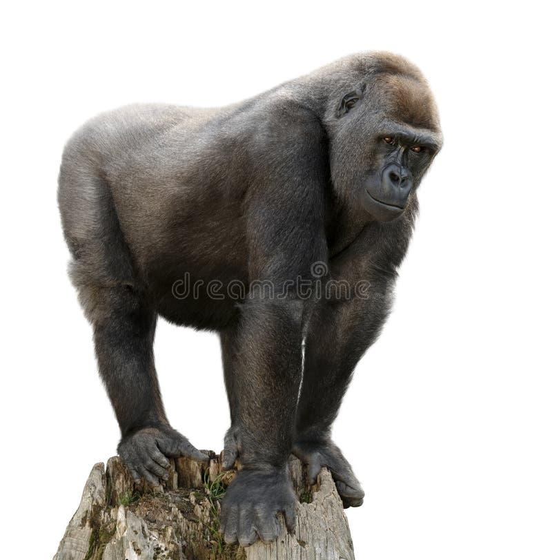 在树干的大猩猩,查出 免版税库存图片