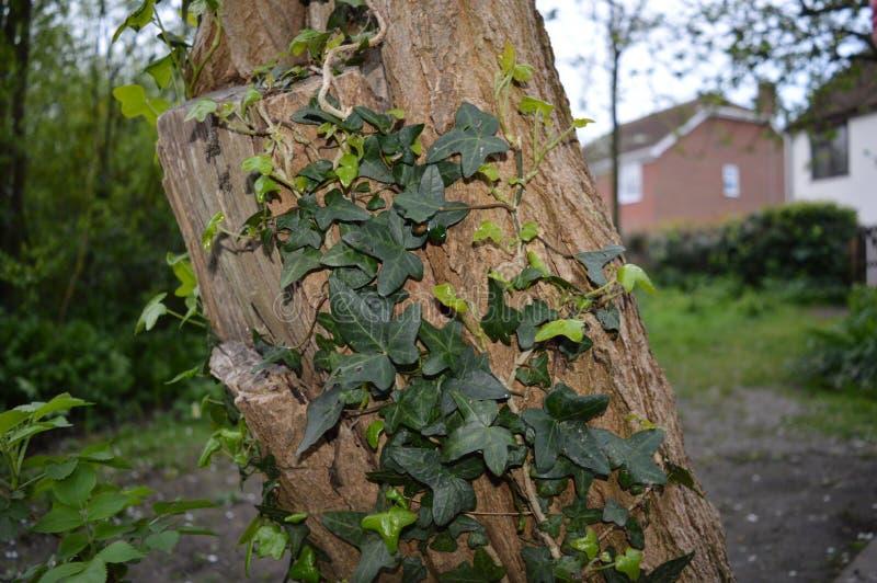 在树干的常春藤 图库摄影