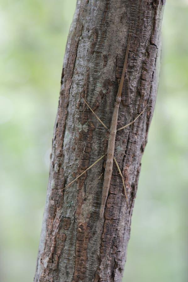 在树干的拐杖昆虫 库存照片