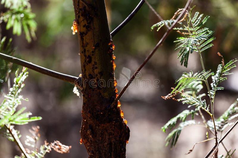 在树干的树树汁 免版税图库摄影