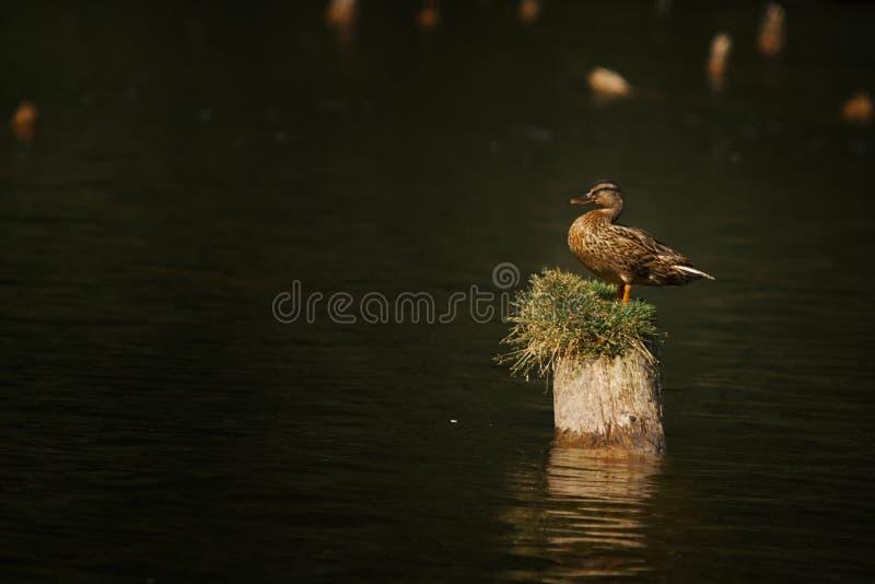 在树干的母鸭子 库存照片