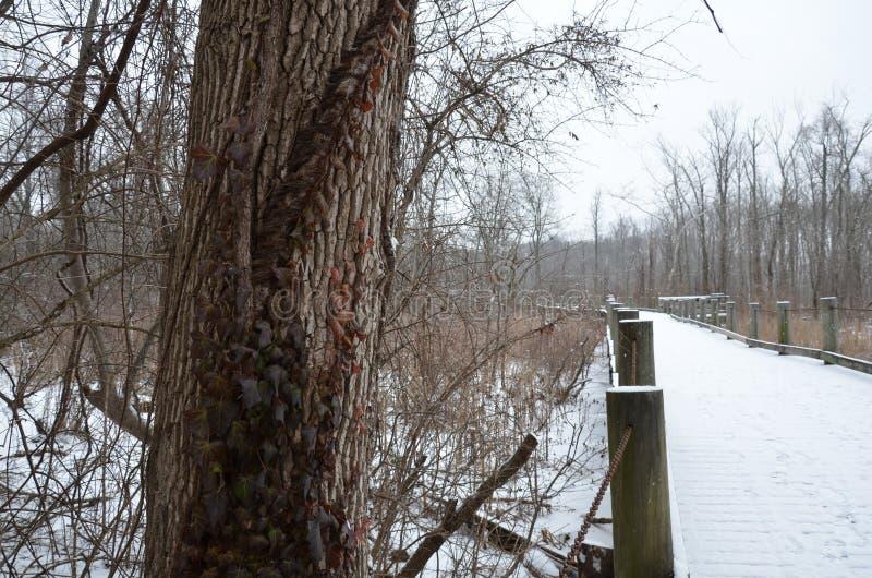 在树干的毒葛藤与木桥、道路或者足迹与雪和树 图库摄影