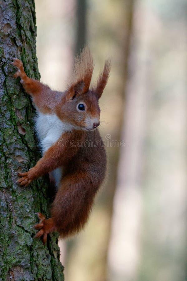 在树干的灰鼠 免版税图库摄影