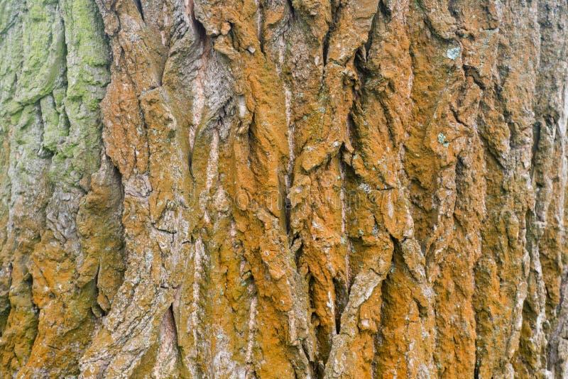 在树干的白杨树吠声 免版税库存图片