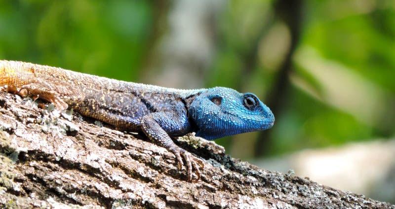 在树干的美丽的蜥蜴鬣鳞蜥 免版税库存照片