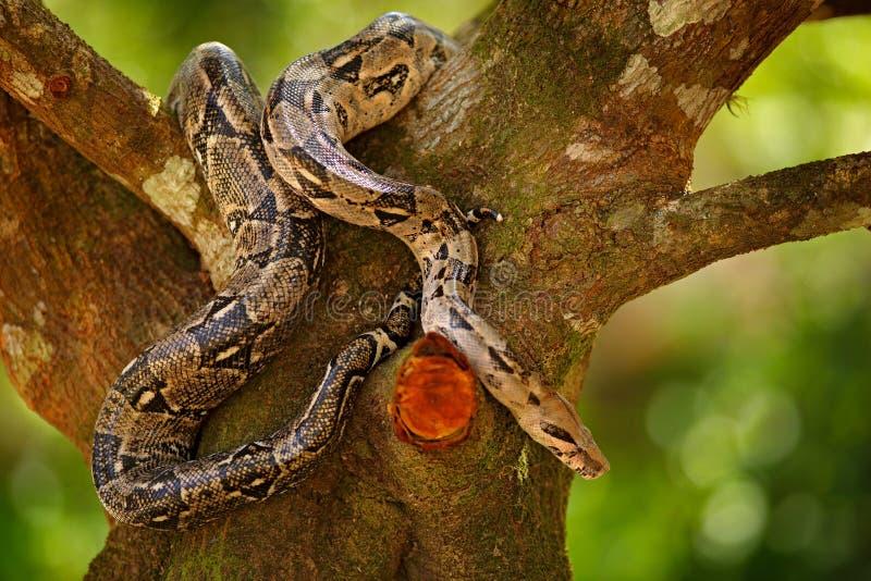 在树干的蛇 在狂放的自然的大蟒蛇蛇,伯利兹 从中美洲的野生生物场面 大蟒蛇, f 免版税库存照片
