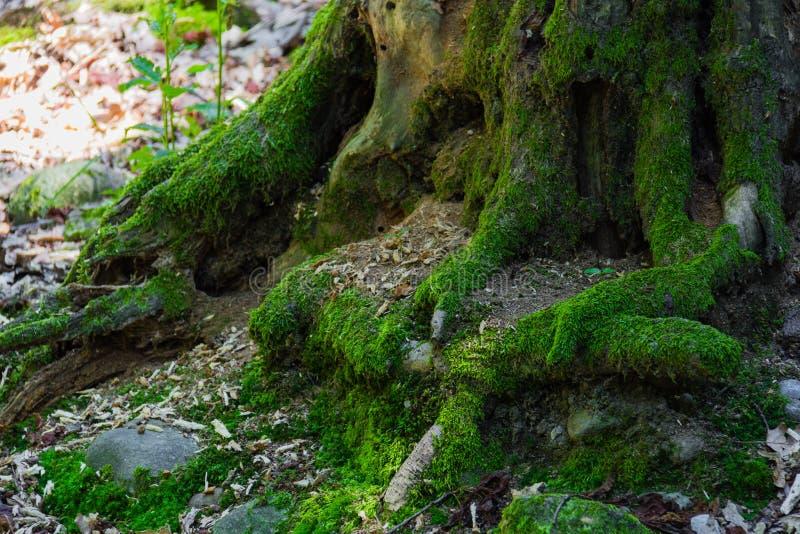在树干的青苔 库存照片