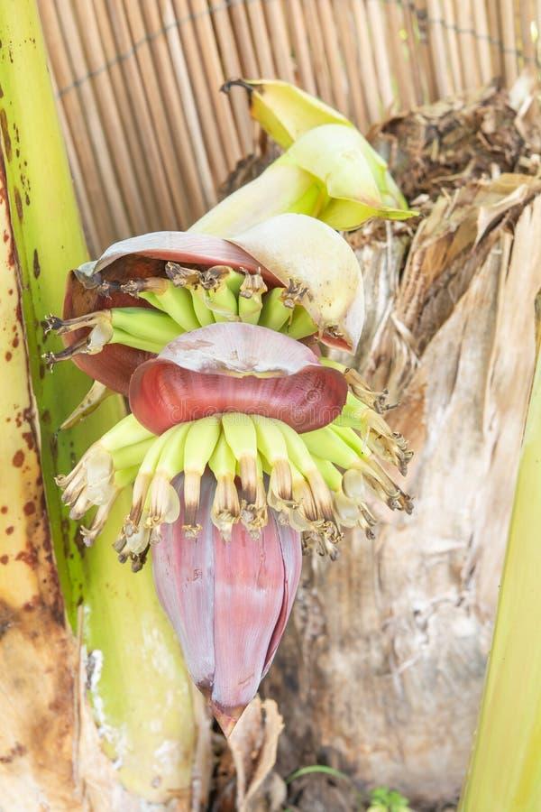 在树干的香蕉奇怪果子和的香蕉 库存图片
