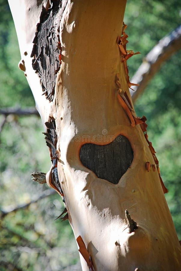 在树干雕刻的心脏 免版税库存照片
