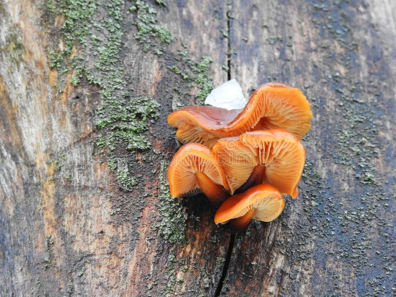 在树干,立陶宛的小蘑菇 库存照片