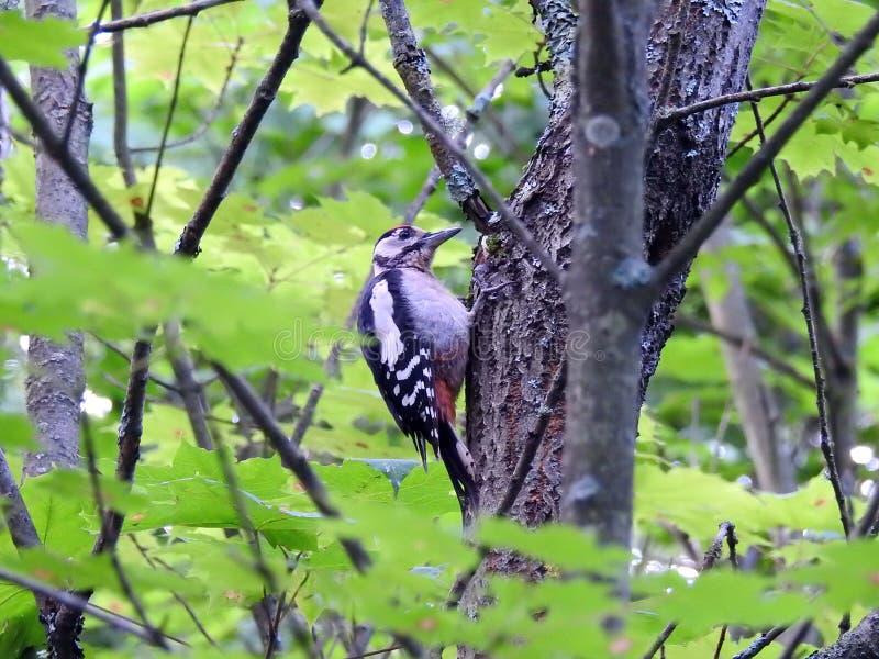 在树干,立陶宛的美丽的啄木鸟 免版税库存图片