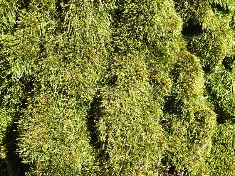 在树干,立陶宛的美丽的绿色青苔 库存图片
