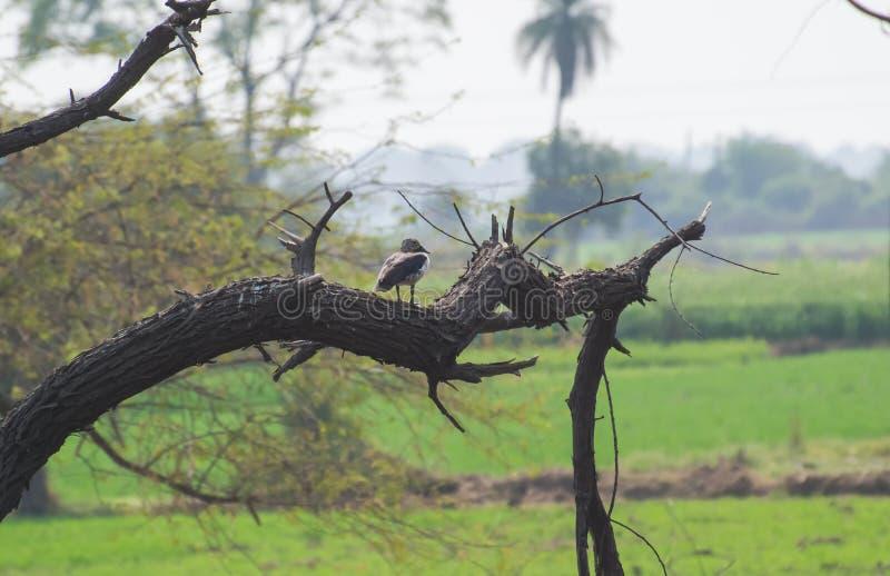 在树或瘤发单的梳子鸭子 免版税库存图片