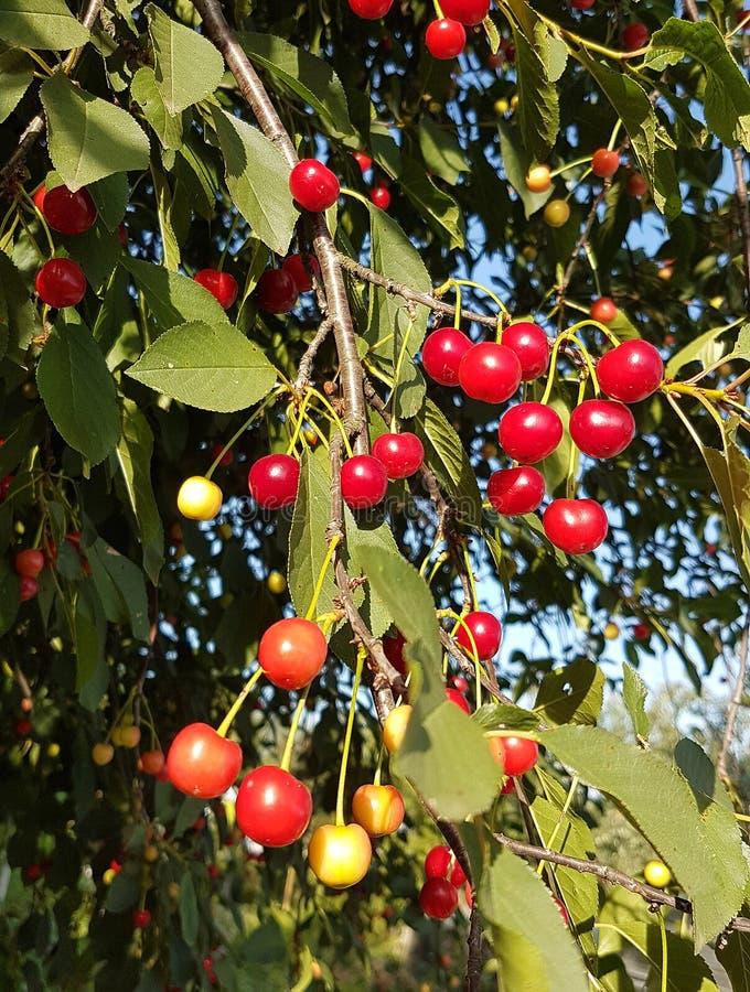 在树户外农厂自然的夏天新鲜的红色樱桃莓果 免版税库存图片