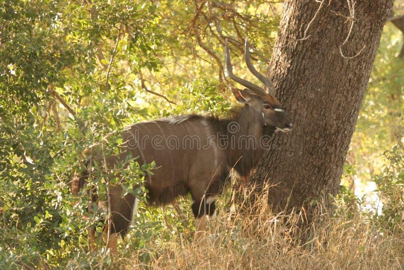 在树旁边的Kudu公牛 库存图片