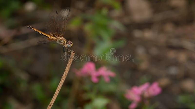 在树枝举行的蜻蜓 图库摄影