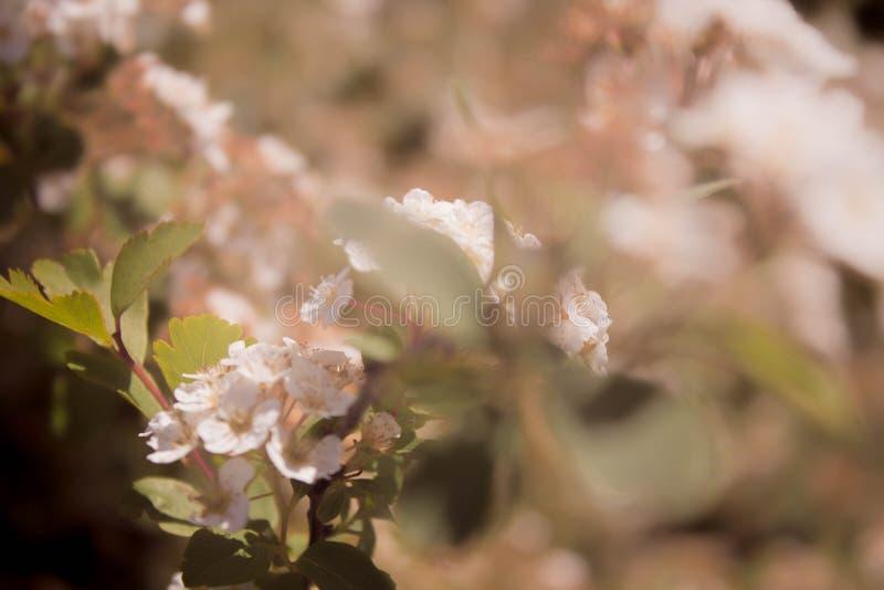 在树枝关闭的春天桃红色软的开花的佐仓花有被弄脏的背景 免版税库存照片