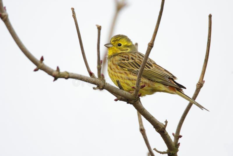 在树枝杈的唯一欧洲人Serin鸟 免版税库存照片