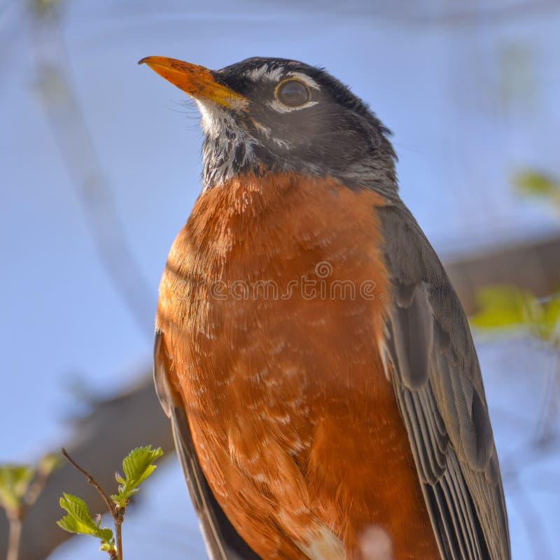 在树枝栖息的美国知更鸟画象-美好的被日光照射了蓝色bokeh背景-明尼苏达谷全国野生生物Ref 免版税库存图片