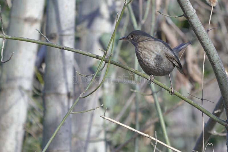 在树枝栖息的黑鹂 免版税库存照片