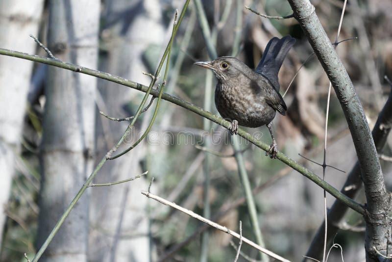 在树枝栖息的黑鹂 库存照片