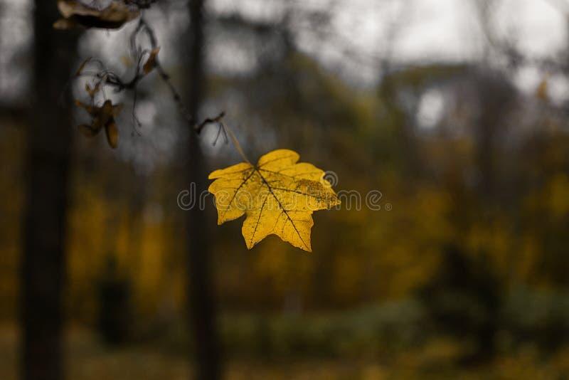 在树枝的一片黑暗的黄色叶子 叶子在秋天落 免版税库存图片
