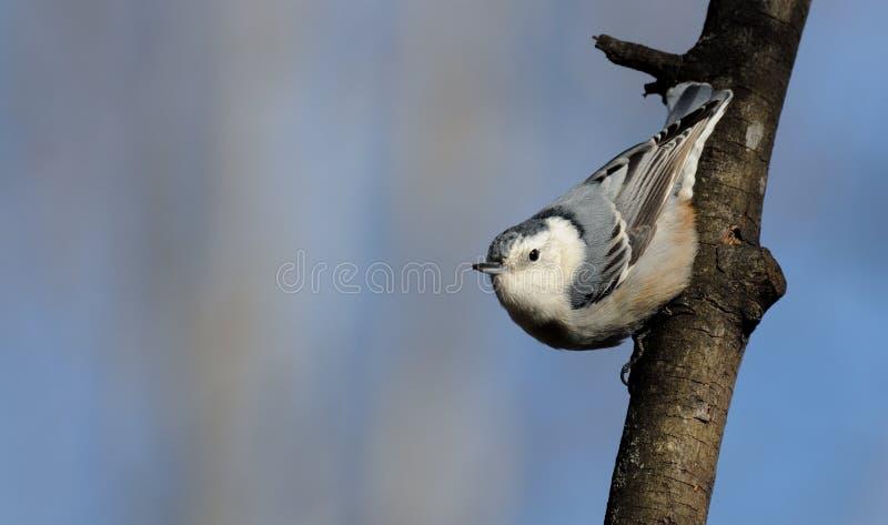 在树枝的五子雀栖息处 库存照片
