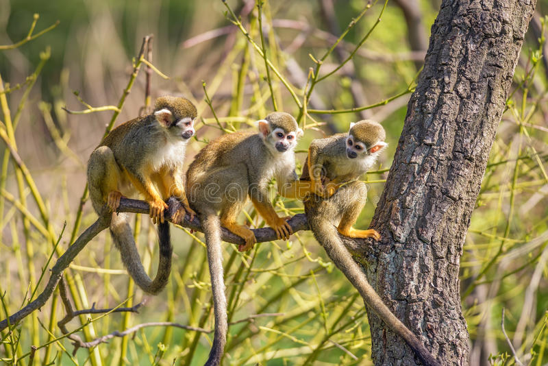 在树枝的共同的松鼠猴子 免版税库存照片