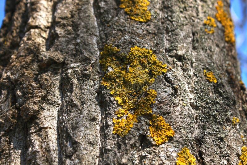 在树枝的地衣 地衣在腐烂的木头增长 免版税库存图片