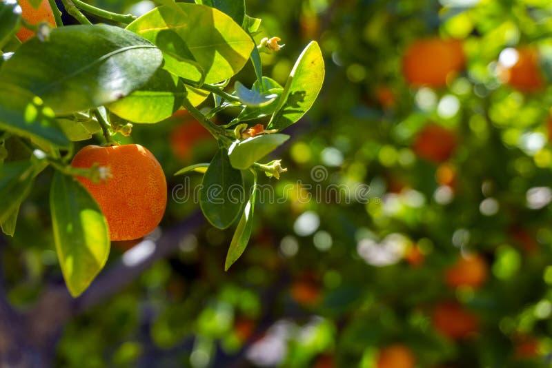 在树枝的小桔子,有被弄脏的背景 免版税库存图片