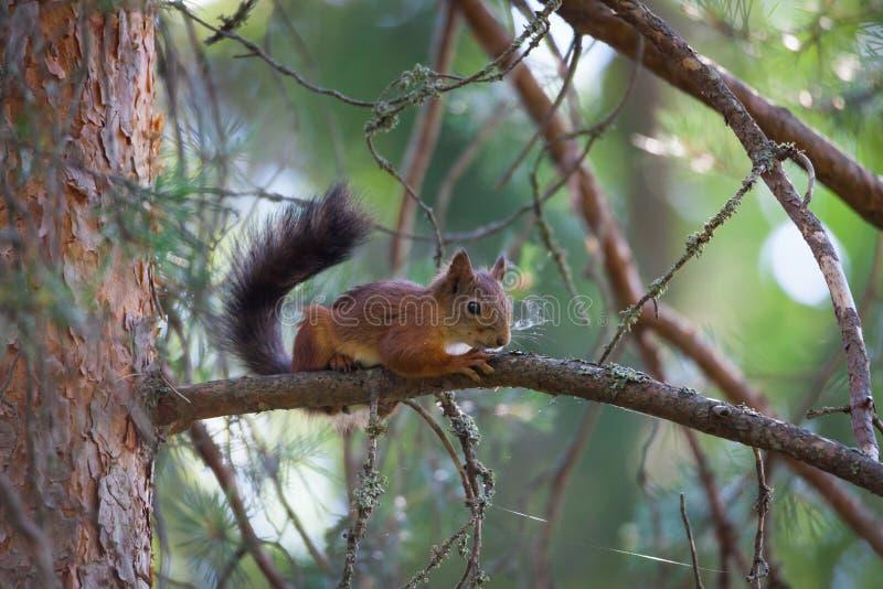 在树枝的幼小灰鼠 库存照片