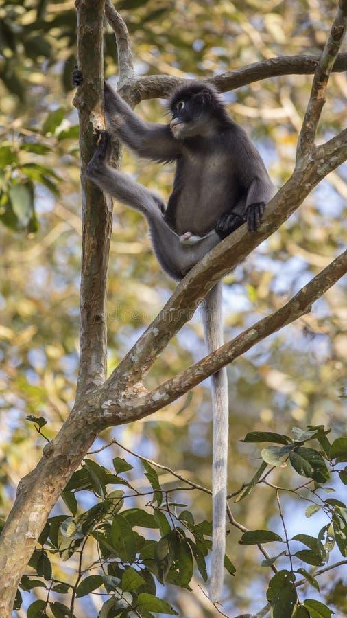 在树枝的暗淡的叶子猴子 免版税图库摄影