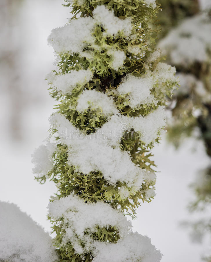在树枝的积雪的地衣 库存图片