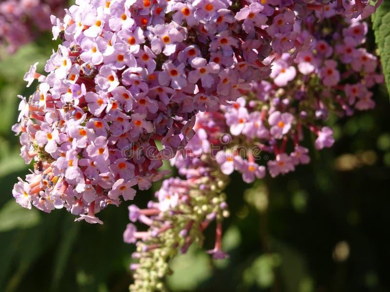 在树枝的紫罗兰色微小的花 图库摄影