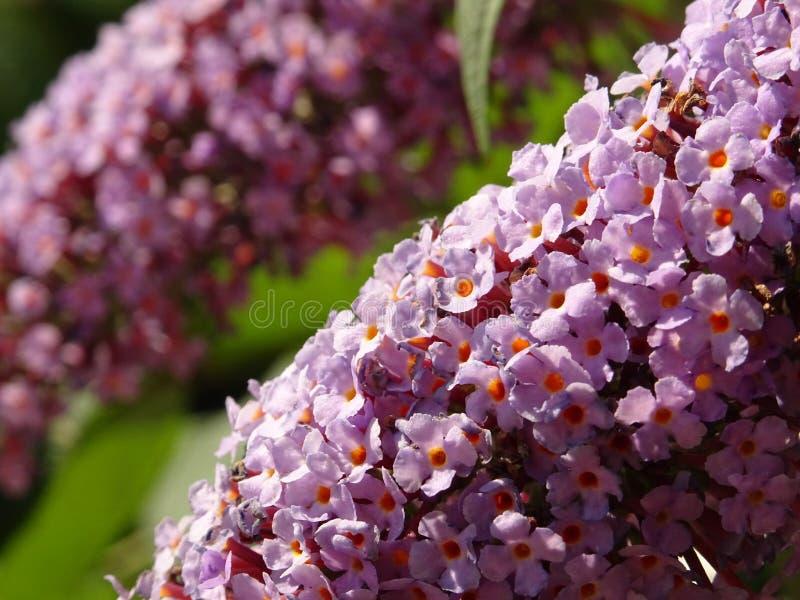 在树枝的紫罗兰色微小的花 免版税库存图片