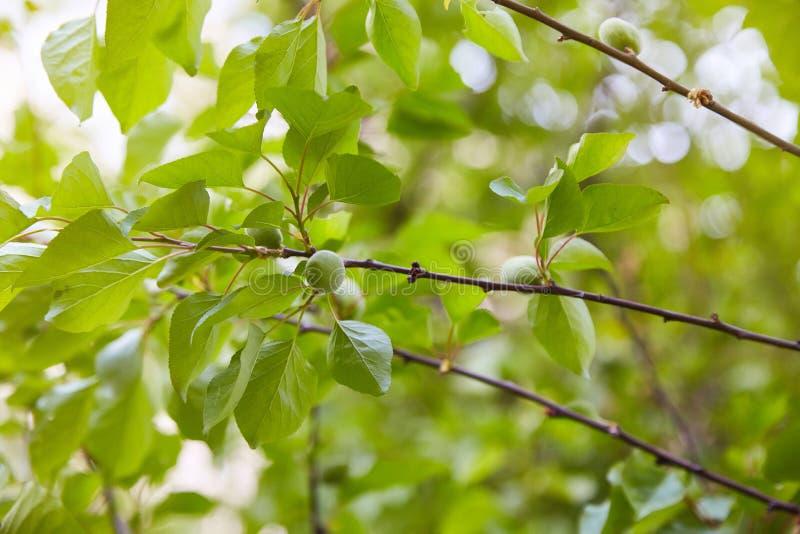 在树枝的绿色未成熟的杏子 库存图片