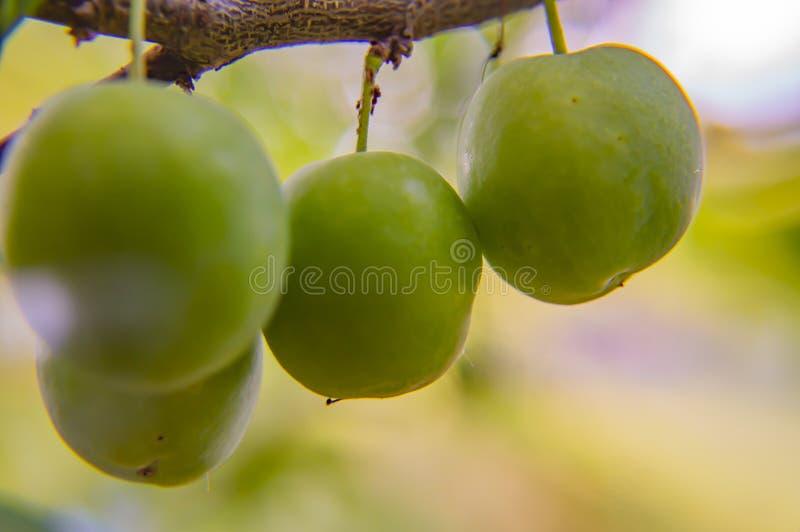 在树枝的绿色樱桃李子 免版税图库摄影