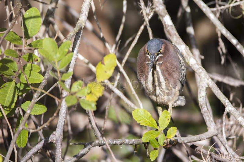 在树枝的绿色苍鹭 免版税库存图片