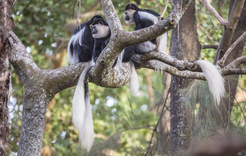 在树枝的被覆盖的Guereza家庭 免版税库存照片